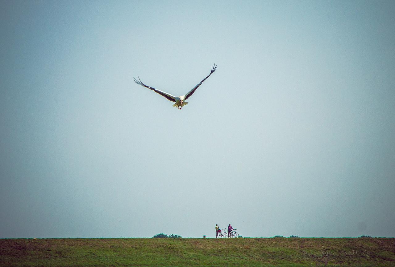 Fliegender Weißstorch, Prignitz