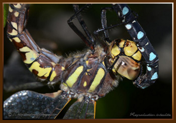 To ODONATA here, clic on image