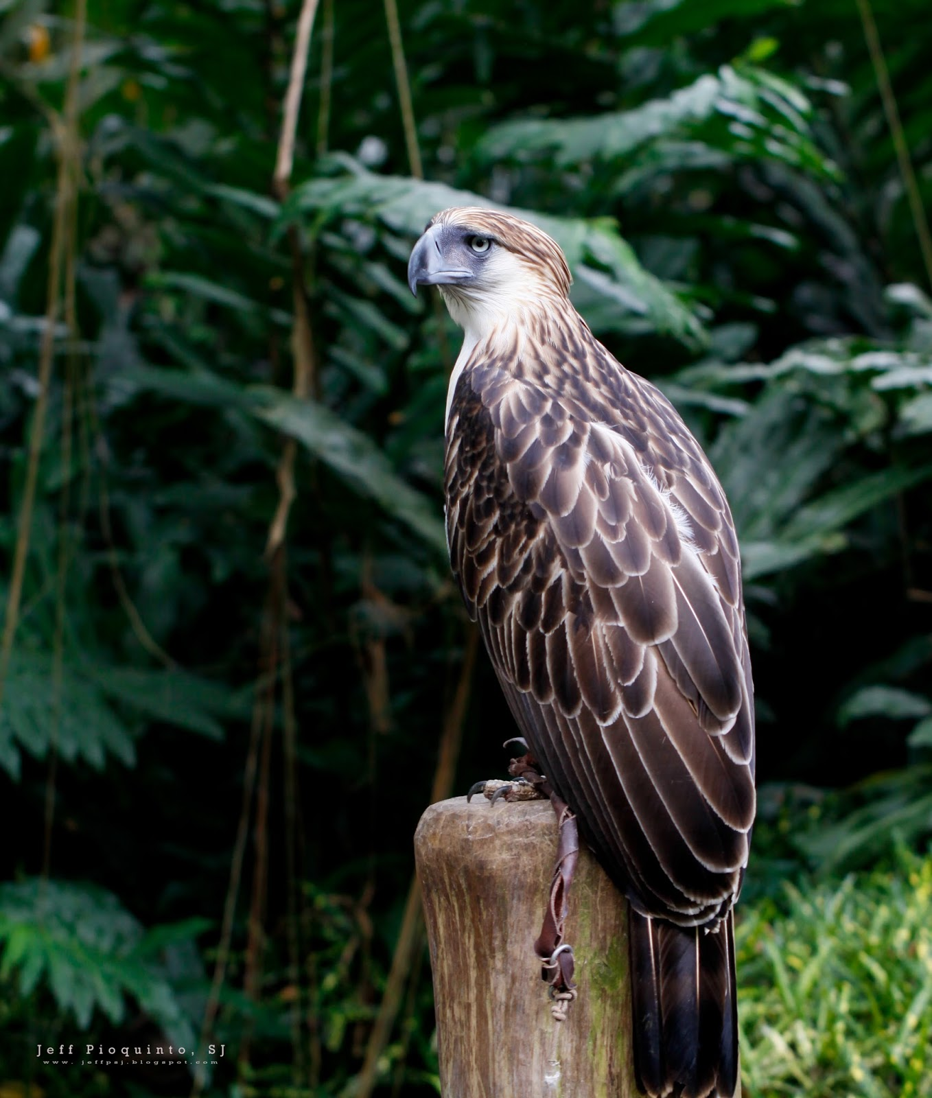 the philippine eagle Manila -- the country's national bird, the philippine eagle, has been called different names, but it was only in 1995 when it was considered as a national symbol.