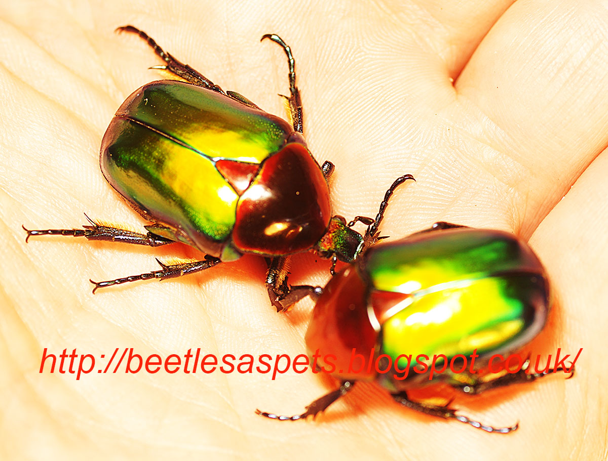 how to get rid of asian beetles inside your house