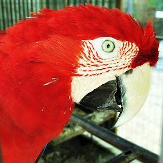 Arara Vermelha, Mini Zoológico de Aves - Santiago (RS)