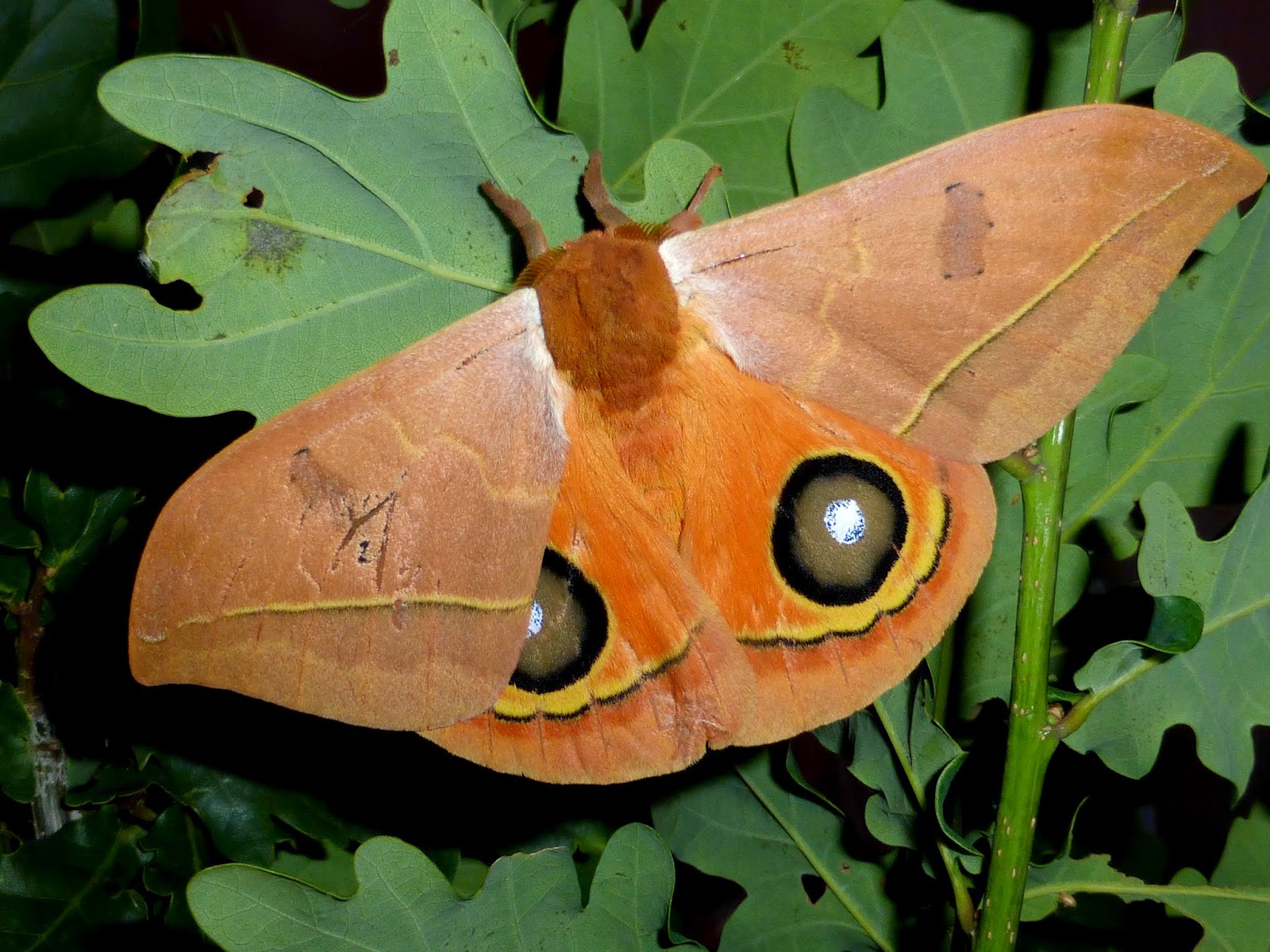 Automeris randa male