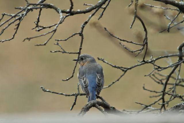 female blue bird on oak branch