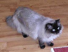 Kucing Himalayan jenis doll face
