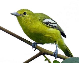 "Burung Sirtu-Habitat dan Kebiasaan Burung Sirtu-Karakter dan Perilaku Burung Cipoh (Burung Sirtu)-Burung Sirtu tersebar dari wilayah asia tenggara, sumatra, jawa dan kalimantan. Burung Sirtu menyenangi hutan-hutan yang tidak terlalu lebat, dan biasnya bersarang di pinggiran hutan pada cabang-cabangn pohon rendah Burung dari jenis cipoh-cipohan, atau keluarga Aegithinidae, ini terdiri atas eberapa jenis / spesies dengan wilayah persebaran meliputi Asia Tenggara, wilayah baratdaya China, dan India. Di Indonesia terdapat dua spesies, yaitu: Cipoh kacat / common iora (Aegithina tiphia), dengan wilayah persebaran meliputi Jawa, Bali, wilayah utara Kalimantan, Sumatera dan pulau-pulau satelitnya. Cipoh jantung / green iora (Aegithina viridissima), dengan wilayah persebaran meliputi Sumatera, wilayah utara Kepulauan Natuna. dan Kalimantan. Jenis yang popular dan banyak ditemukan di sejumlah pasar burung di Jawa dan Sumatera adalah cipoh kacat. Spesies ini banyak dipelihara, karena memang lebih mudah ditemukan di pasar burung-pasar burung dan di sekitar kita.   Karakter dan Perilaku Burung Cipoh (Burung Sirtu)  Burung ini sering terlihat berkumpul di semak-semak atau pepohonan rendah untuk mencari serangga, biji-bijian, dan nektar bunga. Terkadang dalam berkumpul mereka akan saling berkicau dengan suara kicauannya yang khas, bersahut-sahutan, dan akan menggema hingga ke seluruh wilayah. Kemampuan cipoh dalam meniru suara burung jenis lain memang terbatas, namun mereka mampu menirukan dengan baik suara panggilan dari burung sejenis srigunting, serta suara panggilan dari burung kutilang. Musim kawin biasa berlangsung dalam rentang waktu Maret hingga Juni. Pada saat itulah, burung jantan akan sering terlihat melakukan beberapa atraksi akrobatik dalam ritual kawinnya tersebut. Namun perlu diingat, dalam pemeliharaan di dalam sangkar, musim kawin relatif tidak berlaku. Sebab, ketika burung dijodohkan, mereka pasti akan kawin kapanpun keduanya ""bersepakat"". Di alam liar, burung b"