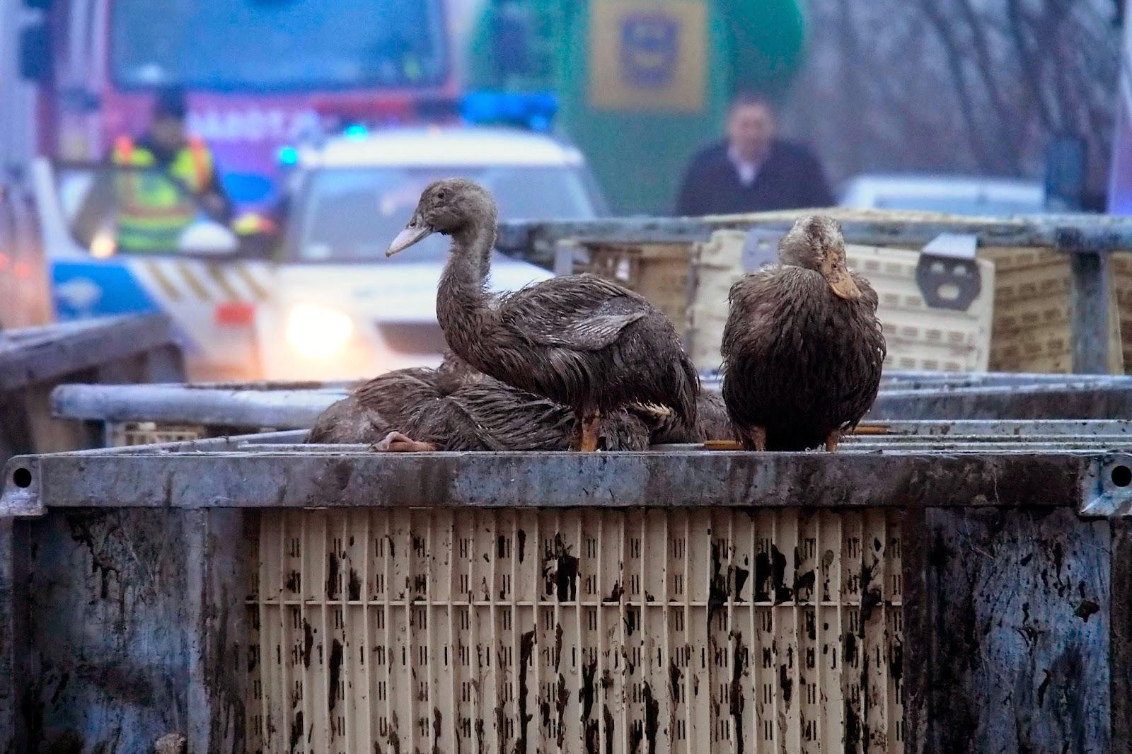 közúti baleset, állatok, Ópusztaszer, Magyarország, kacsa,
