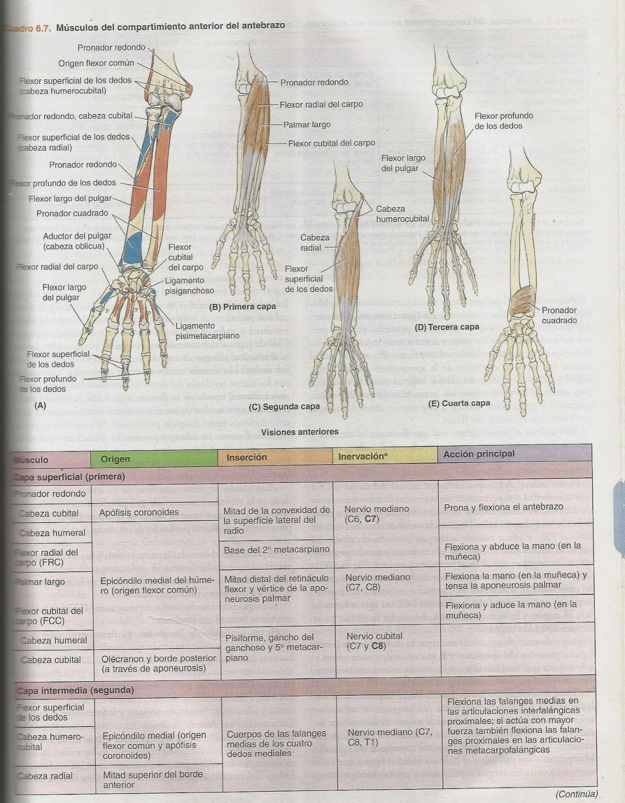 Morfofisiologia : Miembro Superior