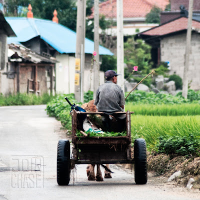 A man in a wagon being pulled by a cow in rural South Korea.