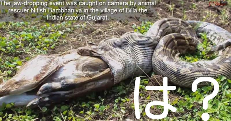 衝撃!大きな蛇、パイソンが動物を丸呑みしていく様子