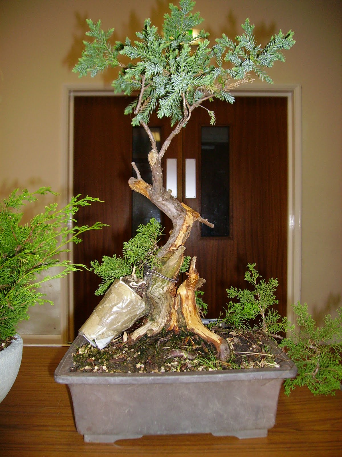 Ashfield Bonsai Club May 2011