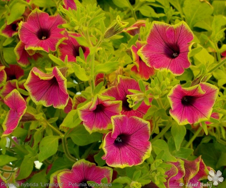 Petunia hybrida 'Limelight' - Petunia ogrodowa 'Limelight'