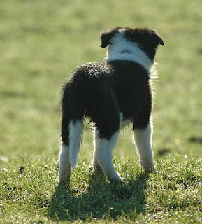 pictures of border collie puppies