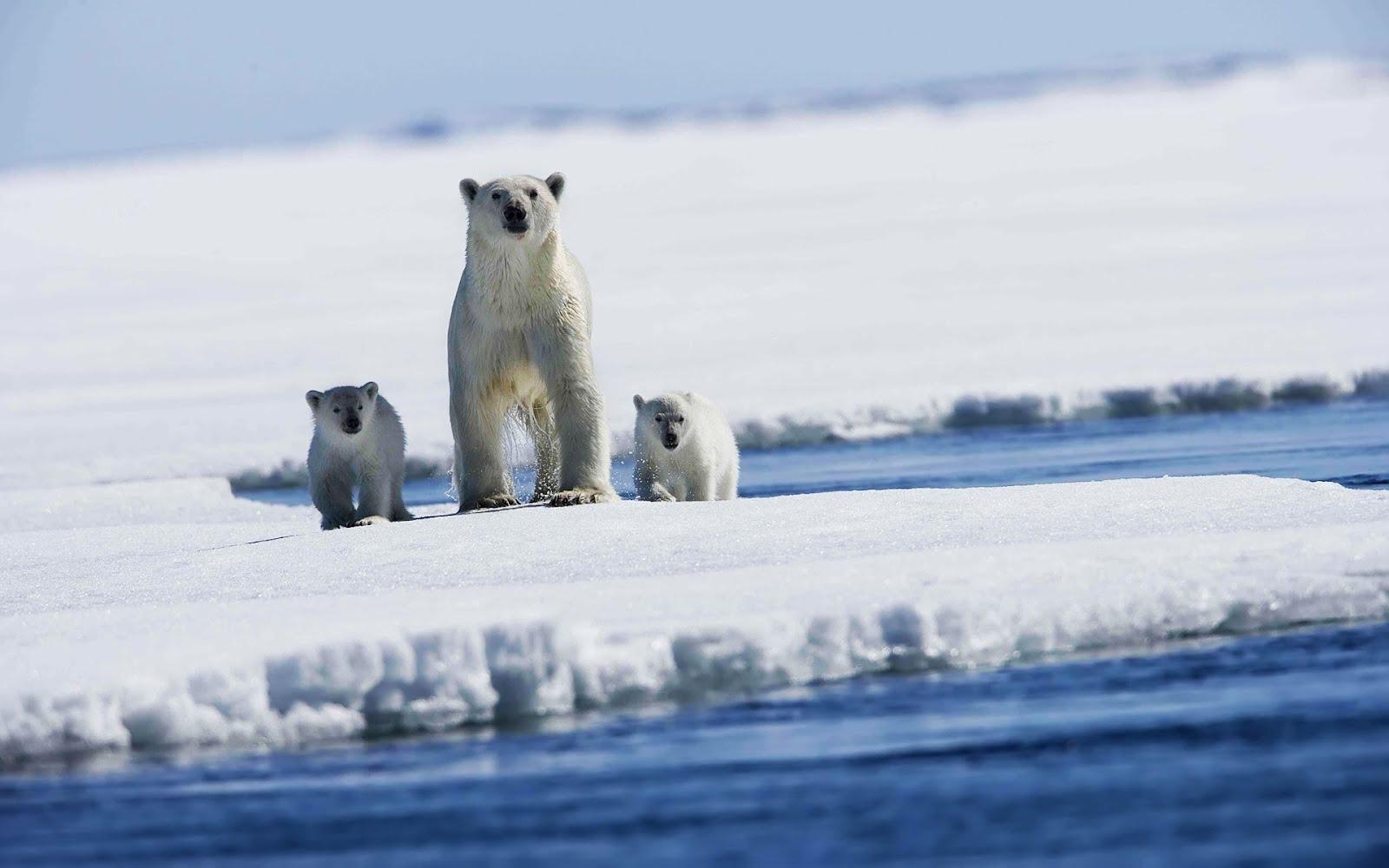 Bonito fondo para tu pc o laptop de osos polares en la nieve