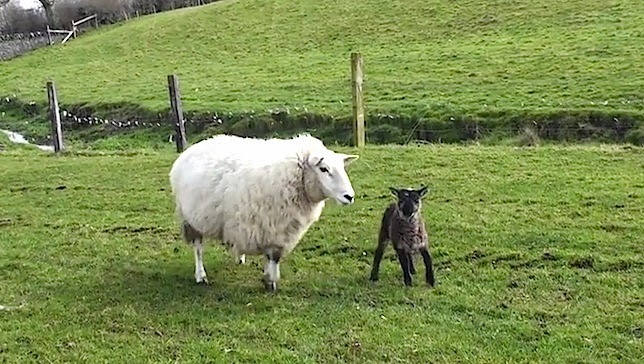 http://www.mnn.com/earth-matters/animals/stories/behold-the-geep-rare-goat-sheep-hybrid-born-in-ireland