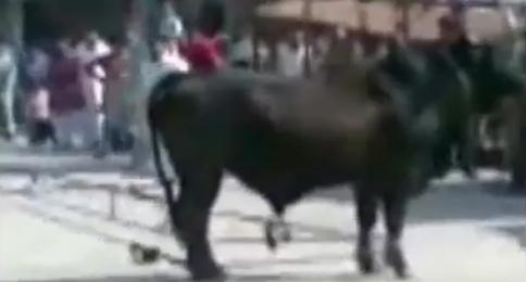 Cows Running Cow Run Great Cow Qurbani on