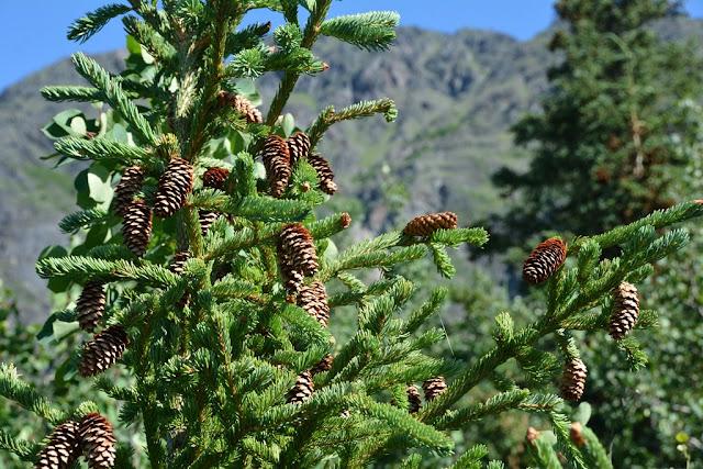 pine Alaska