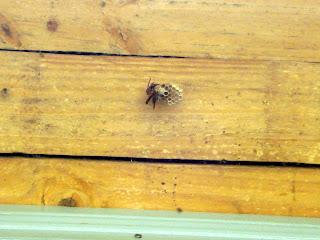 Construyendo su nido con fibras de madera que rascan de los árboles y muelles