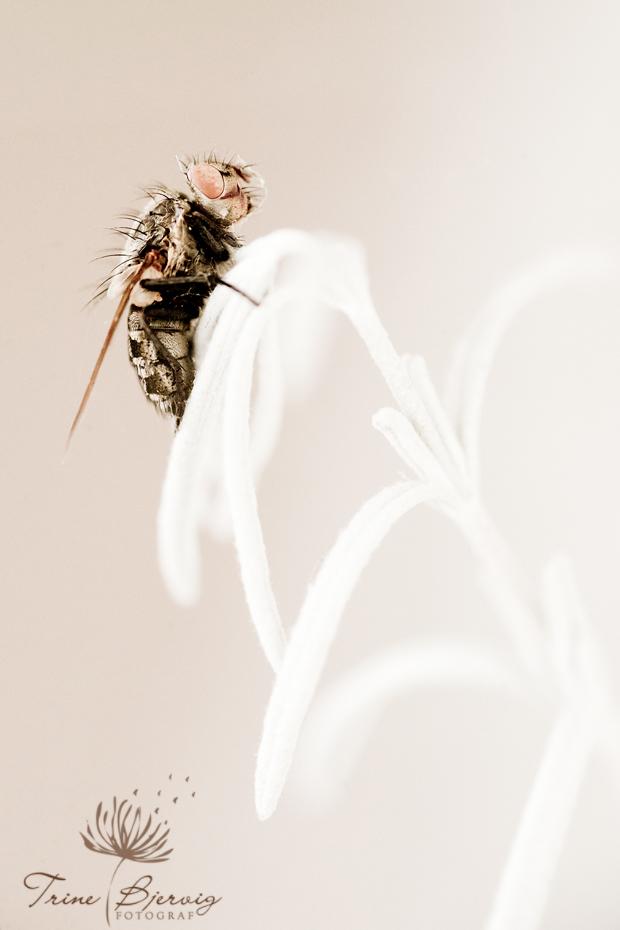 Død flue på plante fotograf Trine Bjervig