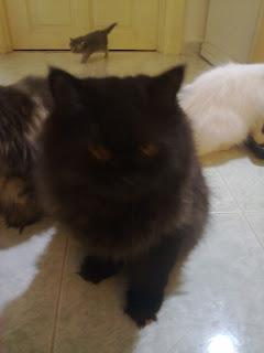 Kucing parsi semi flat face