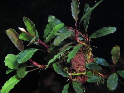 Картинки по запросу bucephalandra sp. theia 9