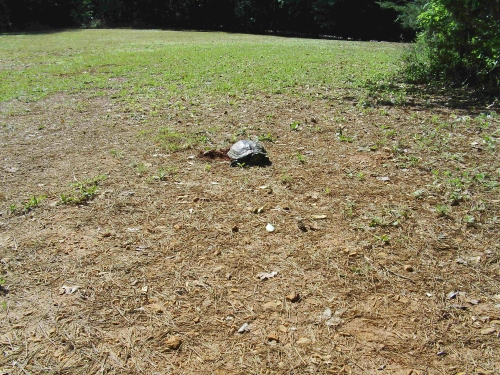 turtle laying eggs in georgia photo copyright by dear miss mermaid