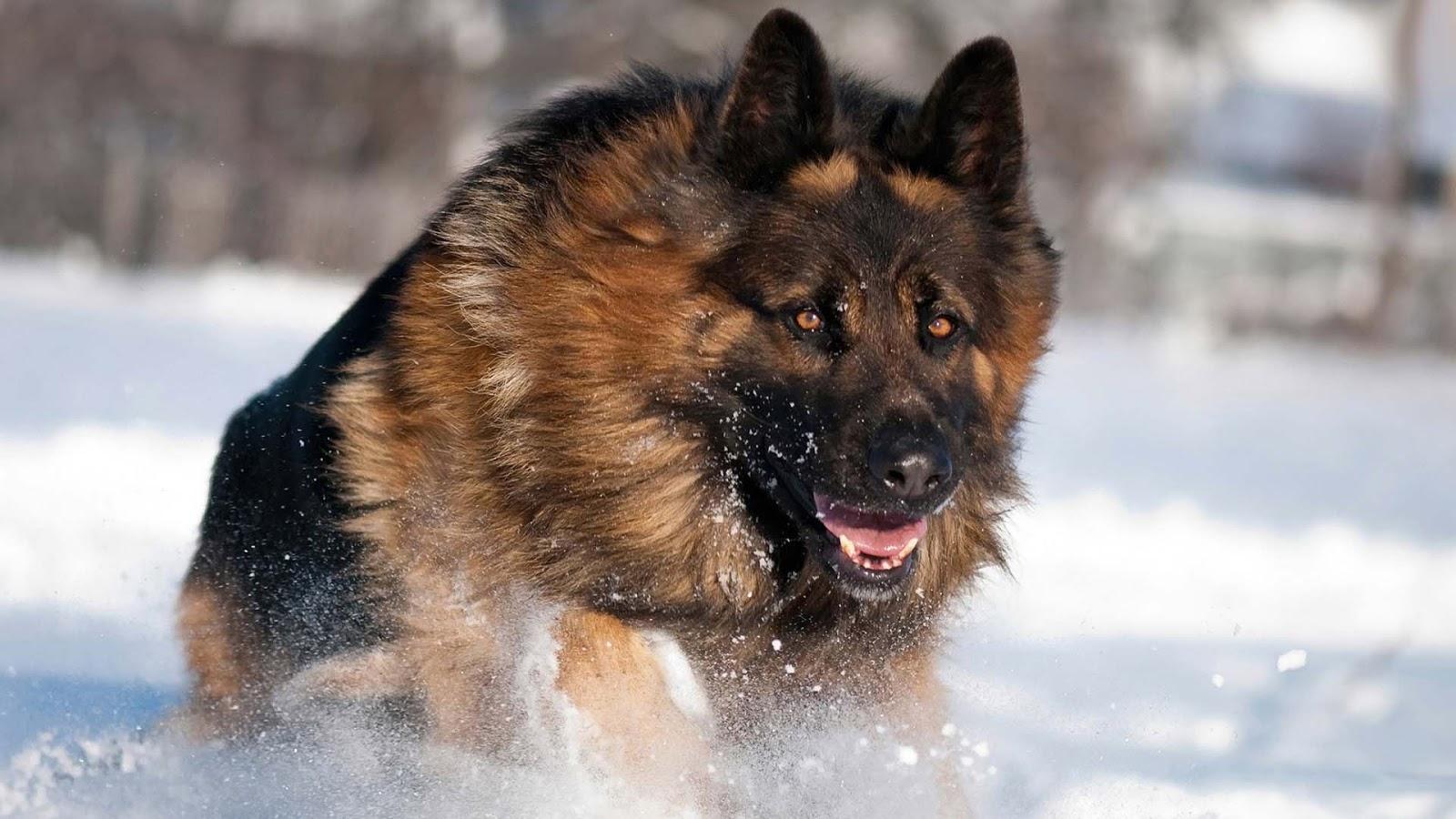 how to train an alsatian dog
