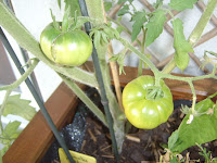 potager-carre1-progression-miaout-tomate2