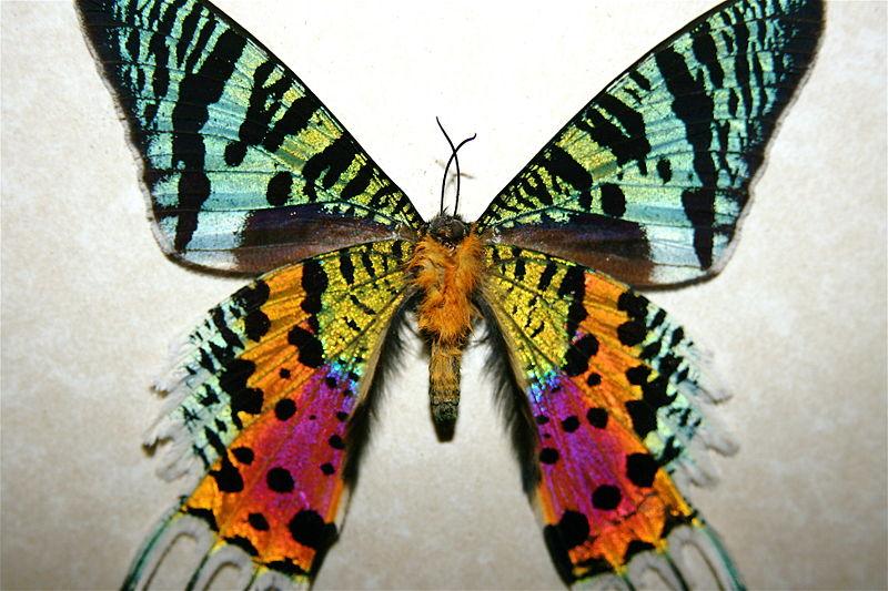 Sunset Moth dari Madagascar