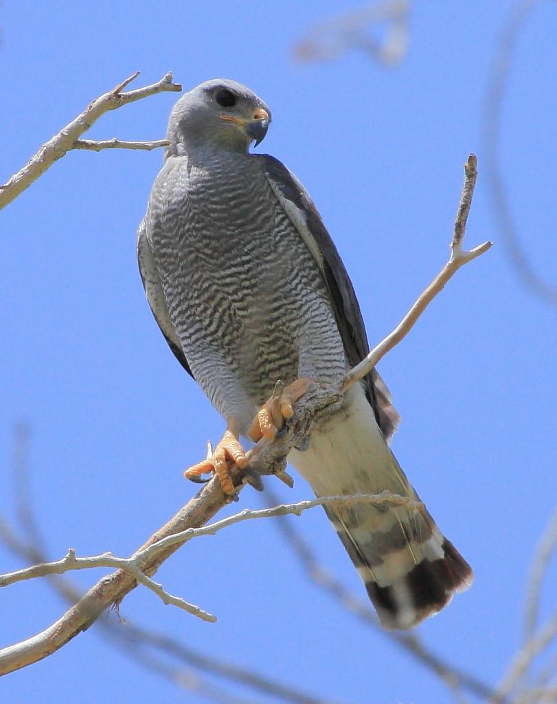 Bd birding texas part vii for Gray hawk