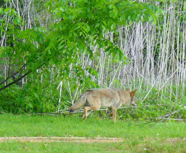 Awesome Encounter with Coyotes at White Rock Lake, Dallas, Texas