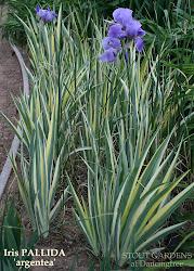 Iris pallida