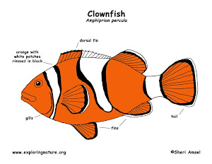 clownfish adaptations