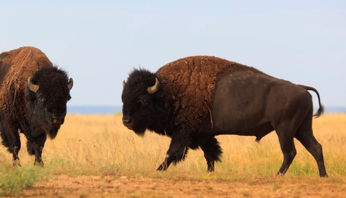 Bison i Caprock Canyon State Park, Texas.