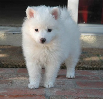 American Eskimo Dog and Puppies Pictures | Dog breeds and ...