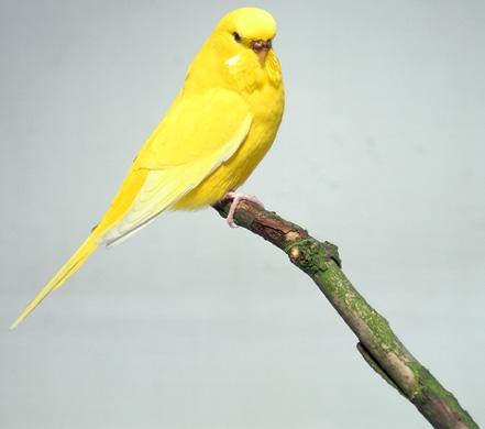 اجمل صور طيور البادجى التى فى غاية الروعة