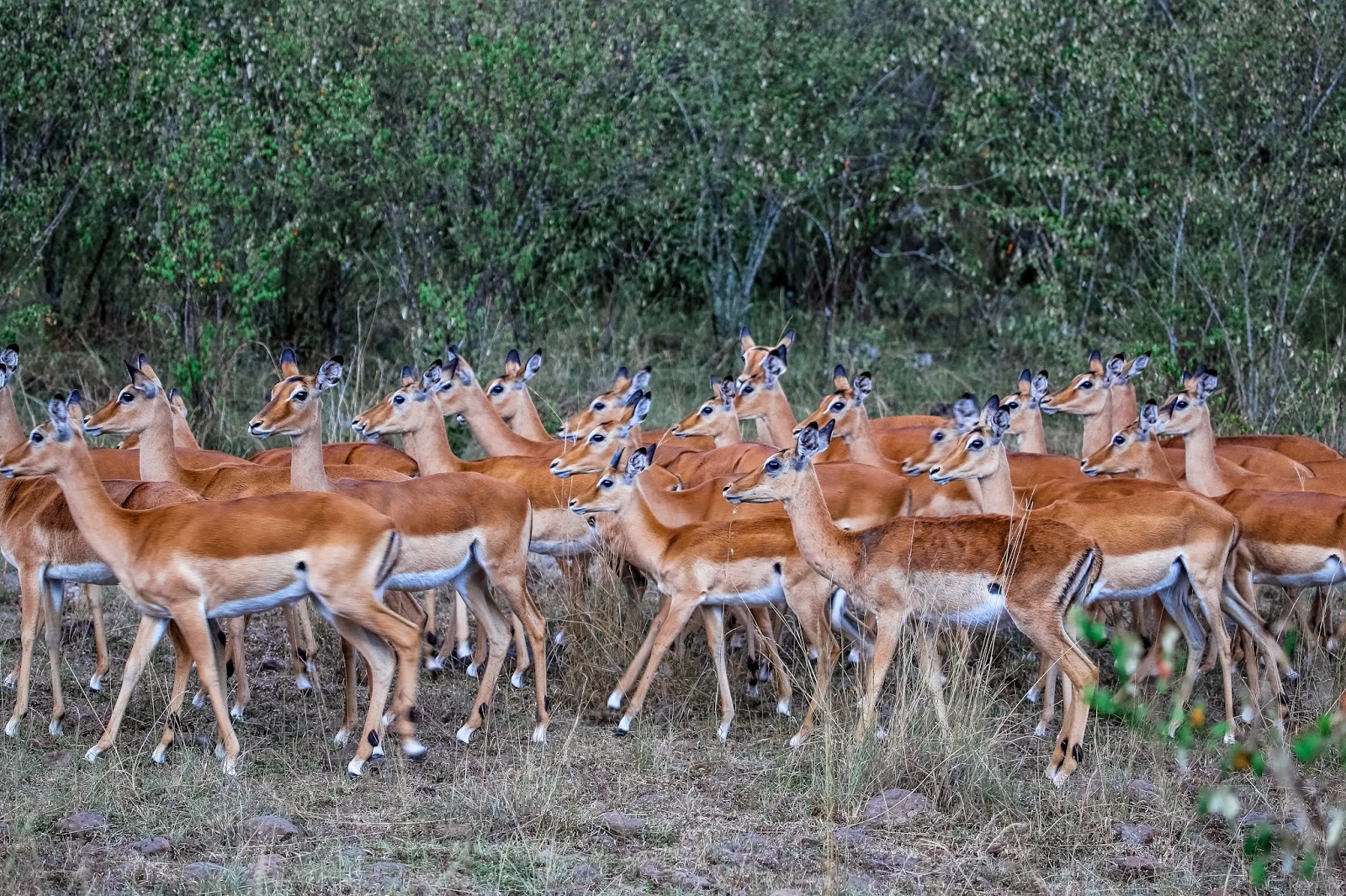 herd of female impala masai mara kenya wide | WallpapersHD ...