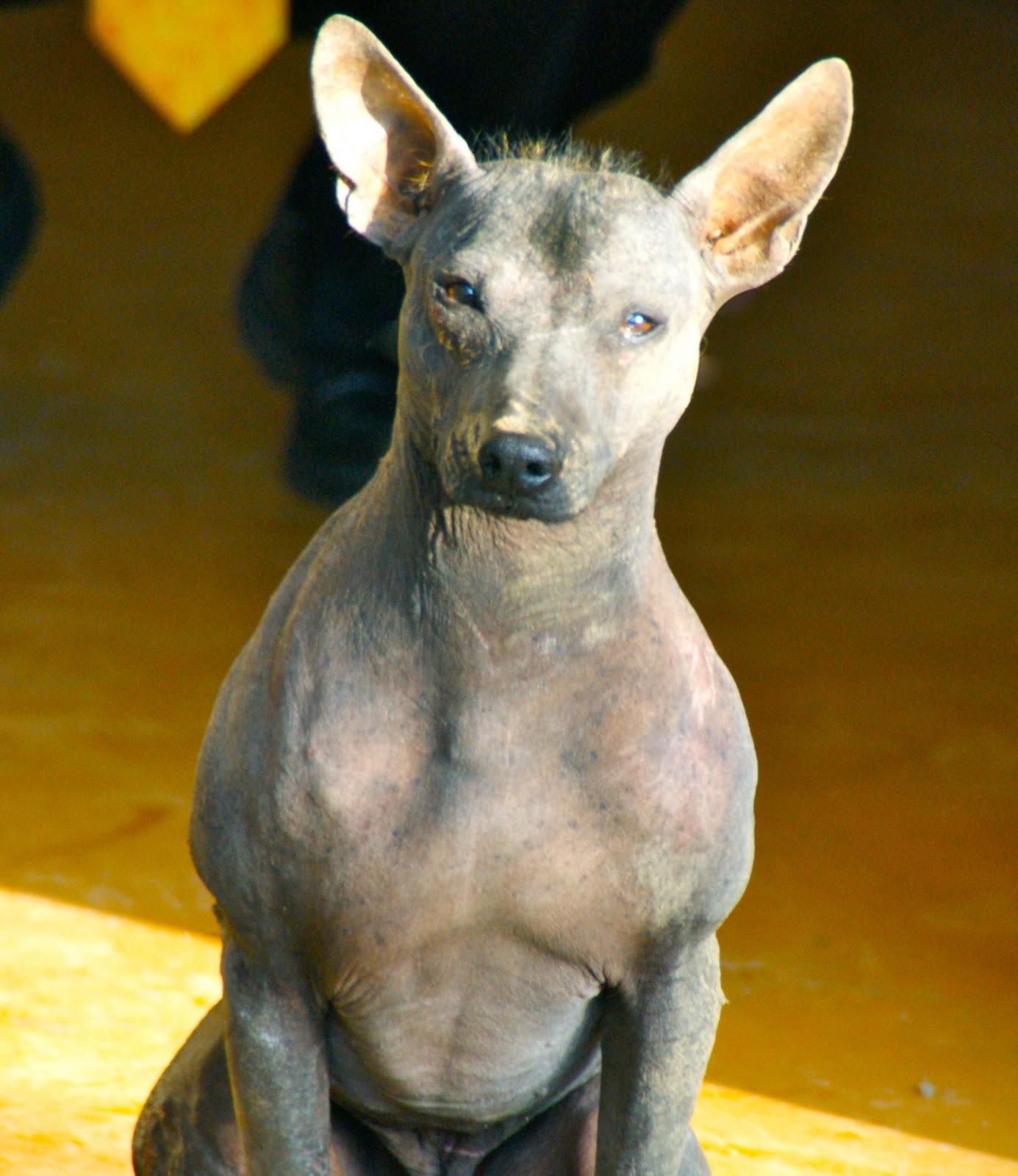 The Turks Peruvian Hairless Dog