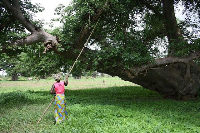 Extrayendo la resina del baobab