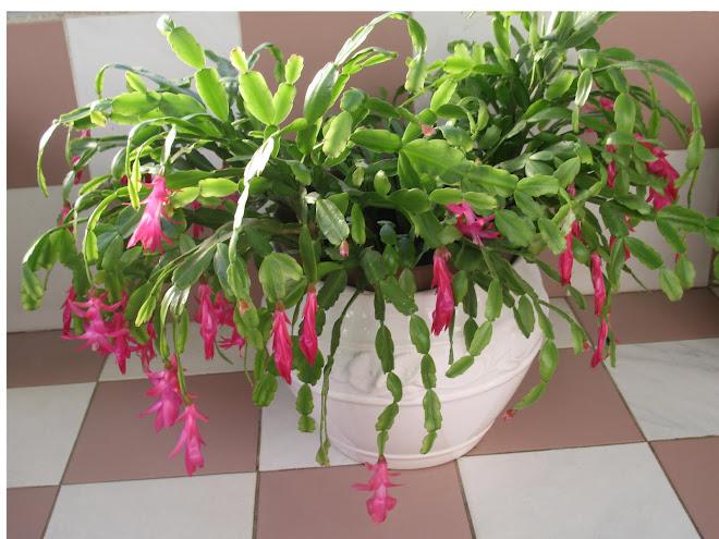 Christmas cactus pink