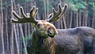 Moose Die-Off Worries Scientists