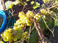 White Grapes?? What to do with the??