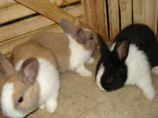 peluang usaha dengan beternak kelinci