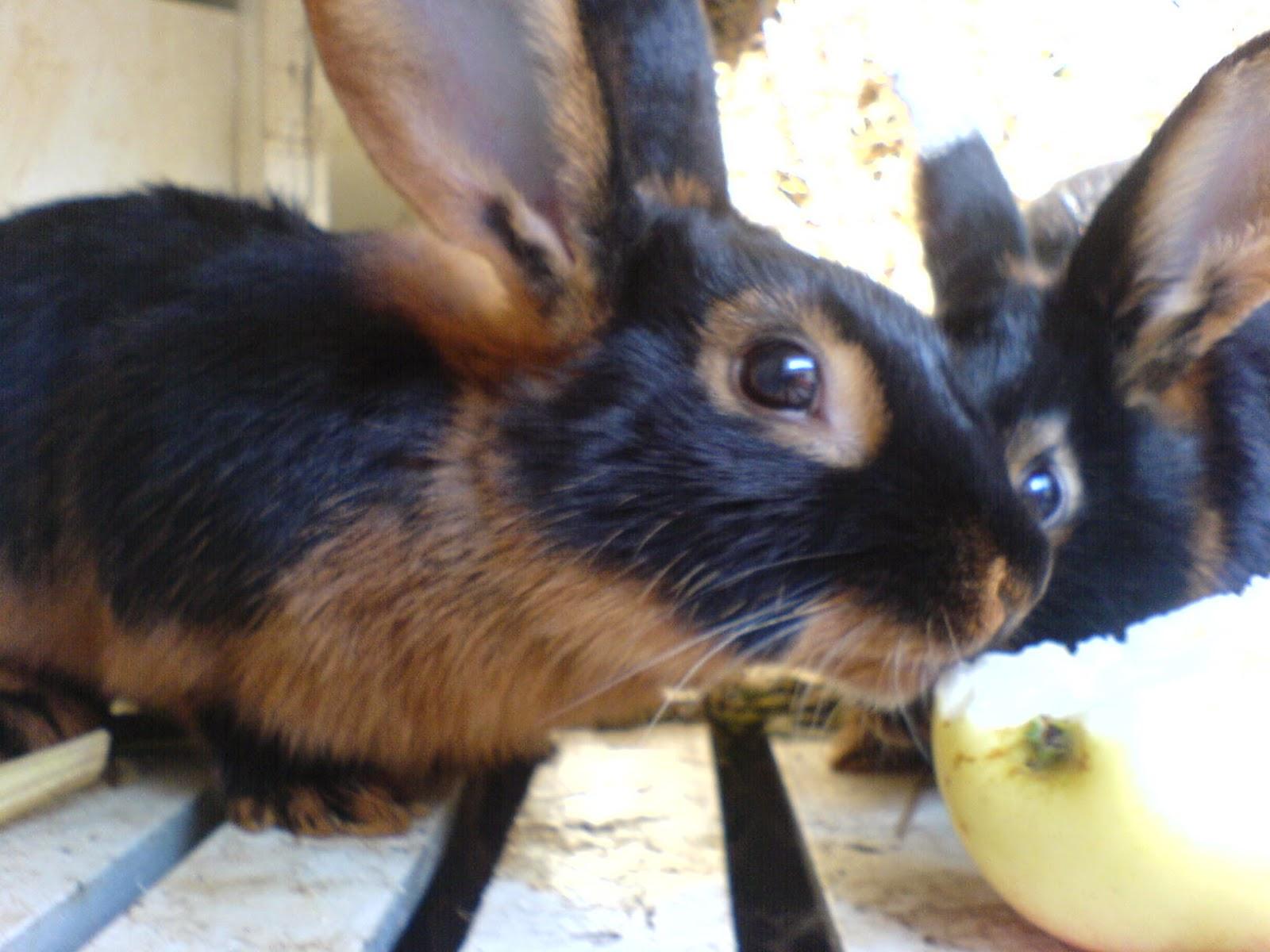 Годівля молодняка кролів, домашнє кролівництво
