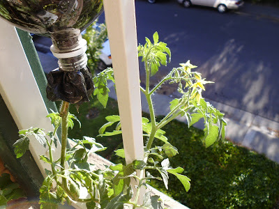 Upside down tomato planter plant