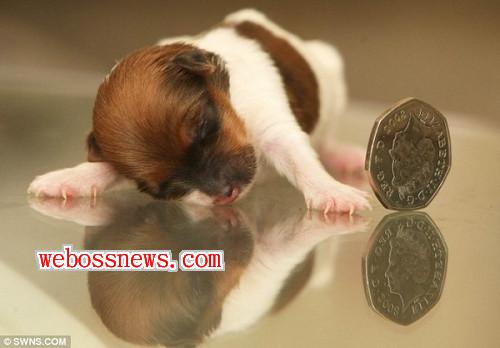 世界最小的狗2