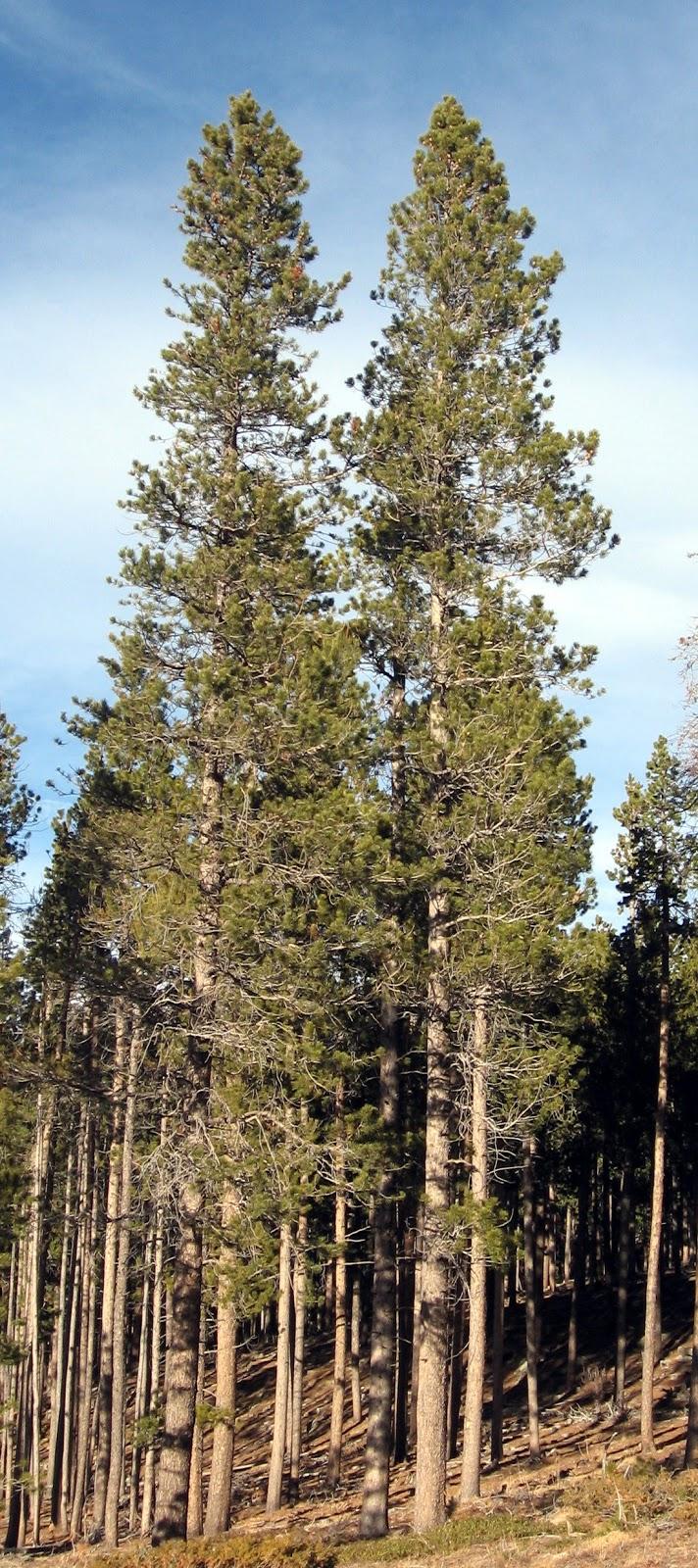 Rocky Mountain Bushcraft: Rocky Mountain Tree ...