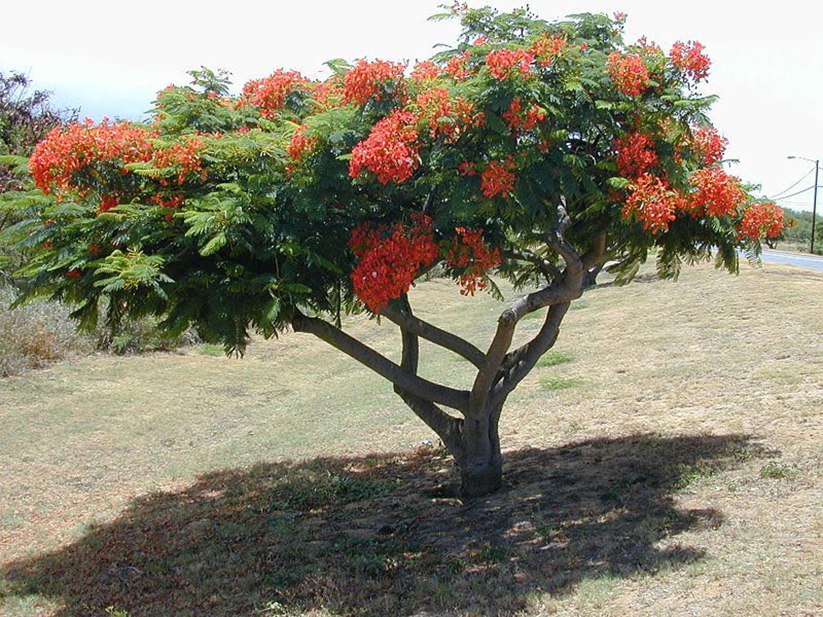 Elarbolmiamigo encinarosa flamboyant delonix regia for Arboles que dan sombra para jardin