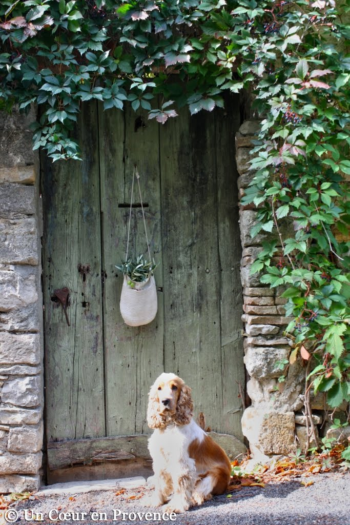 Pepsy, my spaniel cocker laying in front of the old weathered door in front of the house