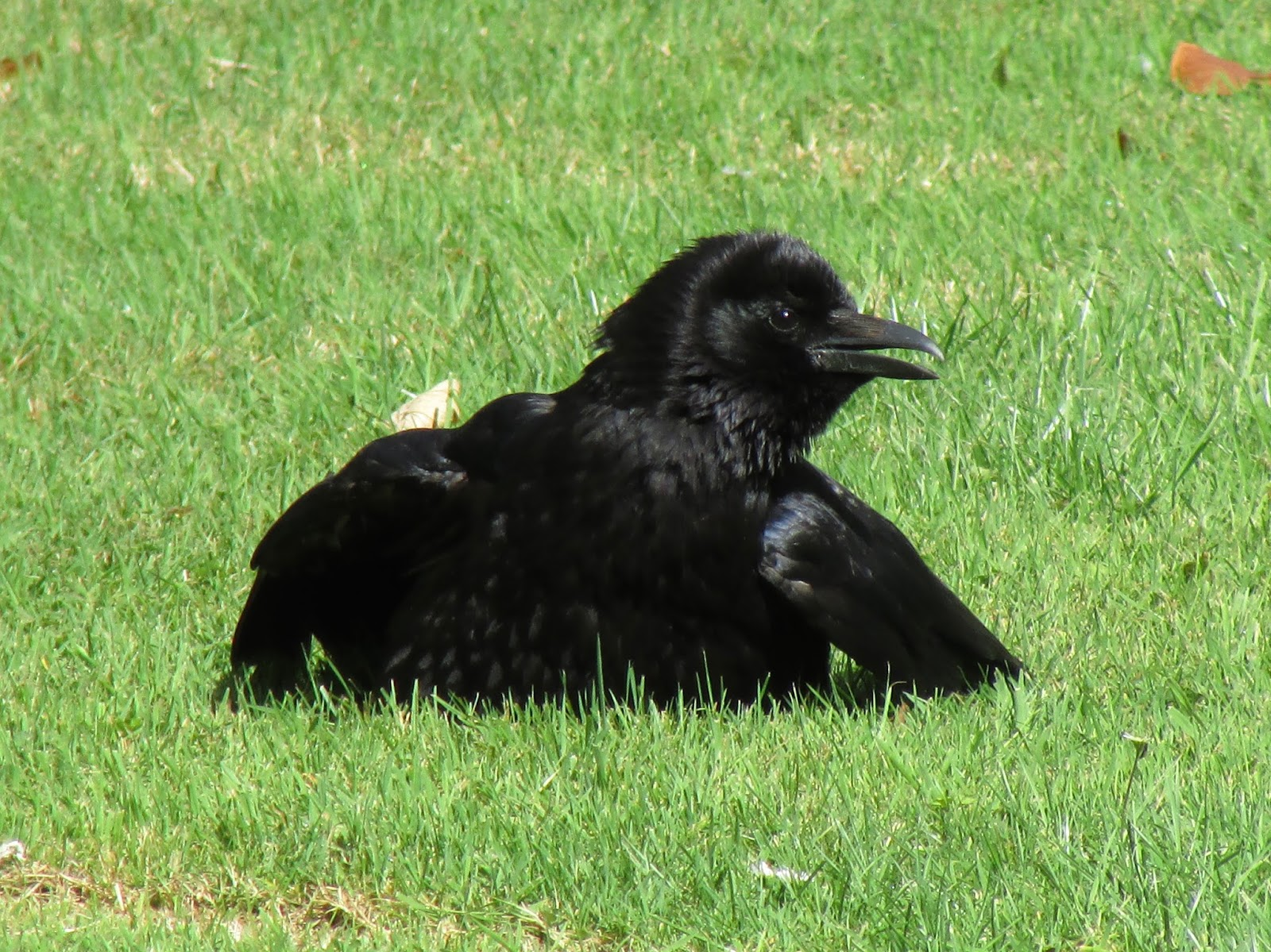 how to stop crows from digging up lawn