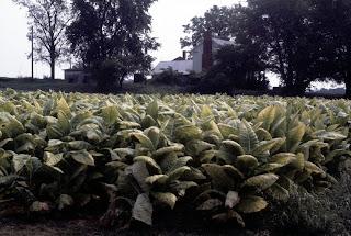 tobacco ripening